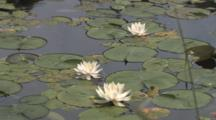 White Water Lilies, Floating In Lake