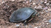 Painted Turtle In Nest Hole, Zoom In