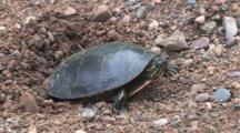 Painted Turtle In Nest Hole, Side View, Zoom