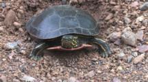 Painted Turtle Backed Up To Nest Hole