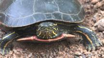 Painted Turtle, Front View