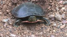 Painted Turtle, Zoom To Show Nest Hole