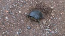 Painted Turtle In Nest Hole, Zoom To X Close Up