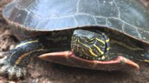 Painted Turtle In Nest Hole, Zoom, Turns Head