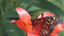 Monarch Butterfly On Orange Asiatic Lily, Exits