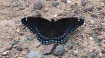 Mourning Cloak Butterfly, Sitting On Ground, Folding Wings, Exits