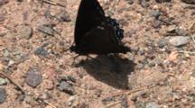 Mourning Cloak Butterfly On Gravel, Folding Wings, Exits