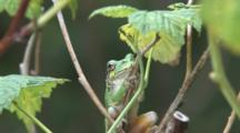 Grey Tree Frog On Raspberry Cane, Looking Towards Camera