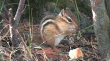 Eastern Chipmunk Eating, Licks Paws, Wipes Face, Eats More