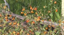 Jewelweed In Marsh Habitat