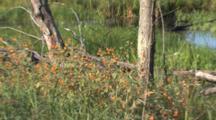Beaver Pond, Zoom In To Jewelweed, Wetland Habitat