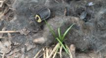Carrion Beetles And Bottle Flies On Mole Carcass, Beetle Goes Under Nose Of Mole