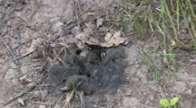 Carrion Beetles On Mole Carcass, Zoom In