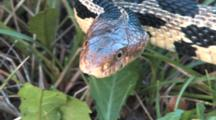 Western Fox Snake, Close Up Face Moving Through Grass