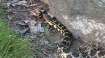 Western Fox Snake Enters, Moves Around Rock