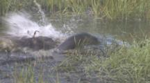 Beaver Attacks Otters From Underwater In Pond