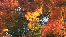 Maple Tree In Full Fall Colors