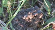 American Toad, In Mottled Sunlight, Mud On Head