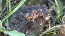 American Toad, In Mottled Sunlight, Mud On Head, Blinks Twice