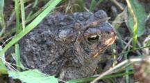 American Toad, In Mottled Sunlight, Mud On Head, Settles Into Dirt