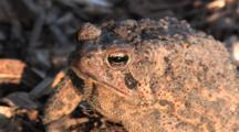 American Toad, Sunset Lighting, Blinks
