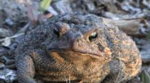 American Toad, Facing Camera
