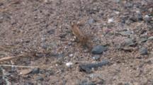 Carolina Grasshopper, Sitting On Gravel