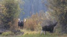 Shiras Bull Moose Resting, Cow Feeding