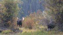 Shiras Bull Moose Resting, Cow Feeding, Leaves, Bull Looks