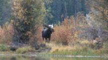 Shiras Bull Moose Shakes Water From Coat, Stretches