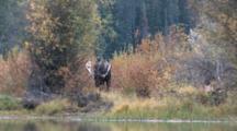 Shiras Bull Moose, Turns Head To Side, Grunts