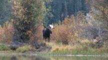Shiras Bull Moose, Yawns, Turns Head