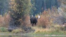 Shiras Bull Moose, Shakes Head, Walks Forward