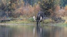 Shiras Bull Moose Drinking From River