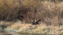 Shiras Bull Moose Resting At River's Edge, Shakes Head
