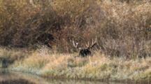 Shiras Bull Moose Resting At River's Edge, Turns Head