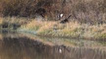 Shiras Bull Moose Resting By Rivers Edge, Antlers Reflecting In Water