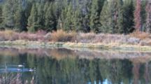 Shiras Bull Moose Resting By River, Zoom To Canada Geese Floating