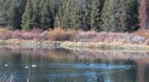 Canada Geese Floating On River, Zoom To Shiras Bull Moose Resting At Edge