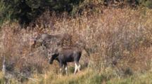 Shiras Moose Cow And Calf Feeding