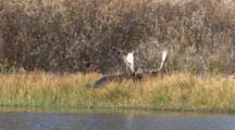 Shiras Bull Moose Resting On Shore Of River, Moves Head