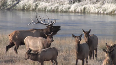Bull Elk With Herd in Yellowstone