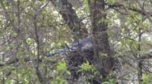 Nesting Blue Jay, Zoom To Habitat, Other Birds Fly Up, Past Nest