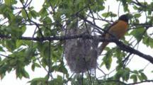 Male Oriole Weaving Nest, Exits Nest, Exits Tree