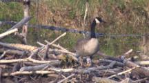 Canada Goose Hen, On Nest With Newly Hatched Goslings, Hen Moves To Side