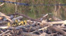 Canada Goose Goslings On Nest, One Day Old, Pecking At Nesting Maaterials