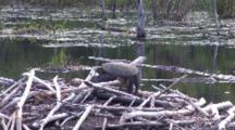 Snapping Turtle Sunning On Beaver Lodge, Head Completely Lowered, Turtle Fast Asleep