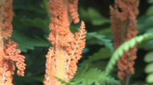 Fern Spore Fronds, Northern Boreal Bog Habitat
