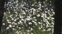 Common Cottongrass, Large Group, Zoom To Wa Northern Boreal Forest Bog, Mosquitos
