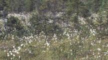 Field Of Common Cottongrass,  Northern Boreal Forest Bog